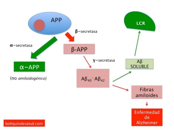 formacion y liberacion peptido amiloide