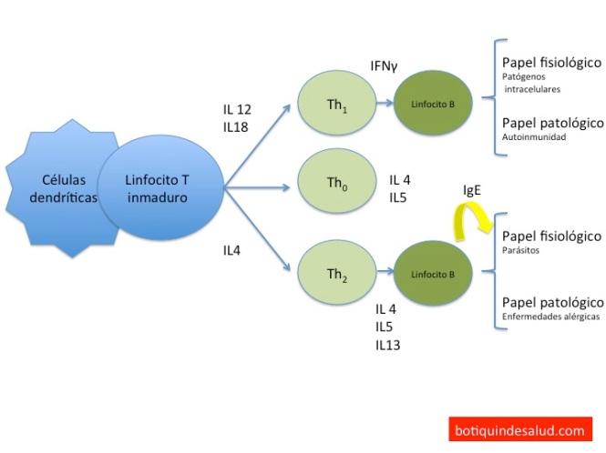 Funcion linfocitos DA