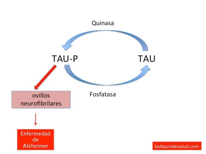 Las proteínas tau en condiciones normales estabilizan los microtúbulos. Cuando se encuentran hiperfosforiladas como es el caso de las que se encuentran en los ovillos neurofibrilares, disminuye su interacción con los microtúbulos y los desestabilizan.