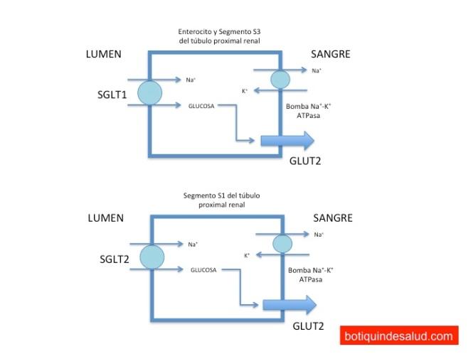 En la cara luminal del segmento S1 y S3 del túbulo proximal, la absorción de sodio crea un gradiente de energía, que permite la absorción de glucosa a través de SGLT2 y en menor medida a través de SGLT1. Al otro lado de la célula, el sodio es transportado a través de la membrana basal al capilar sanguíneo por la bomba sodio-potasio mediada por ATPasa. Este fenómeno crea a su vez otro gradiente de energía que permite que la glucosa sea transportada al flujo capilar a través del transportador de glucosa GLUT2.