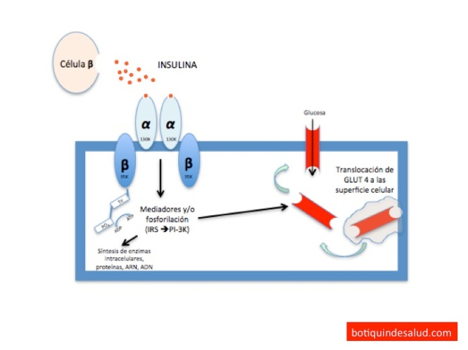 mecanismo accion metformina