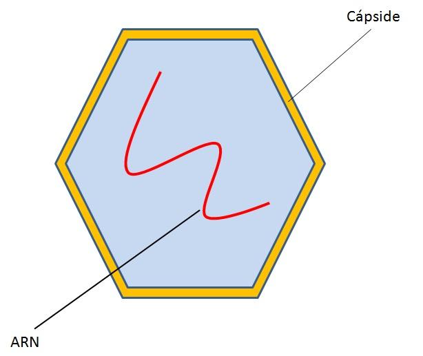 Estructura de un picovirus