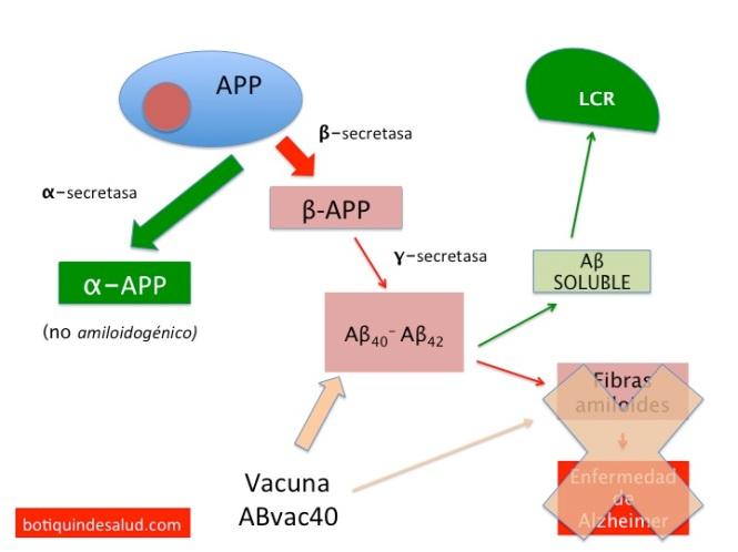 El APP se libera al espacio exracelular a través de una secretasa (α). Éste APP no es amiloidogénico. El APP puede tomar una ruta alternativa siendo procesado por otro tipo de secretasas (β y γ) produciendo Aβ que puede permanecer en estado soluble pasando al líquido cefalorraquideo (LCR) o agregarse formando fibras amiloides insolubles.