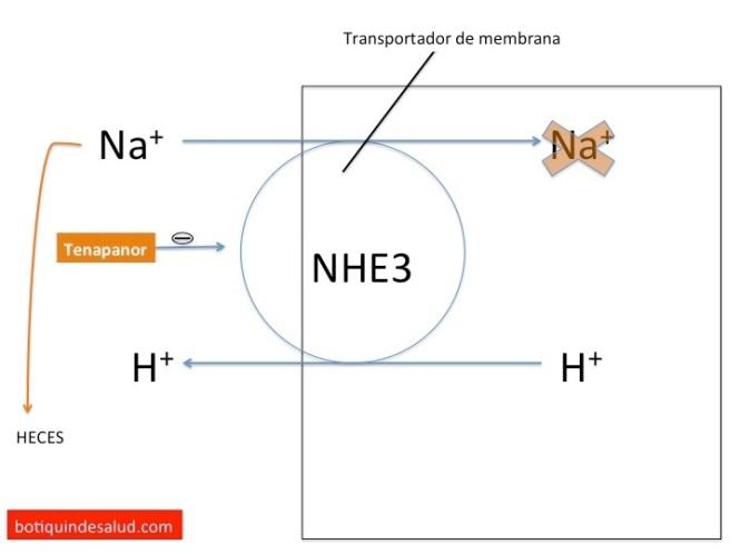 mecanismo accion tenapanor
