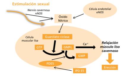 como se produce la erección